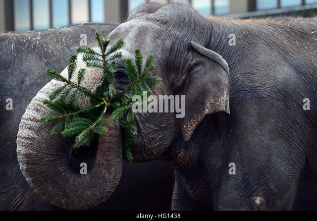 Berlin, Germany. 03rd Jan, 2017. The elephants are getting discarded Christmas trees served to them as delicacy - Stock-Bilder