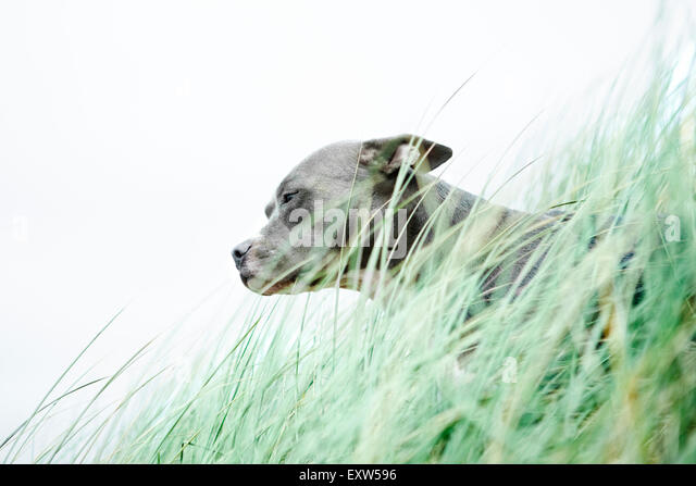 Profile portrait Blue Pitbull sitting with head above sea grass - Stock Image