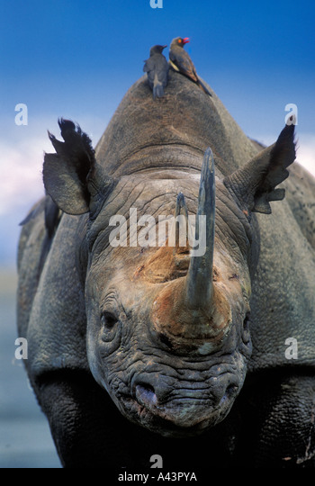 Black Rhinoceros Diceros bicornis with oxpeckers Lake Nakuru National Park Kenya - Stock Image