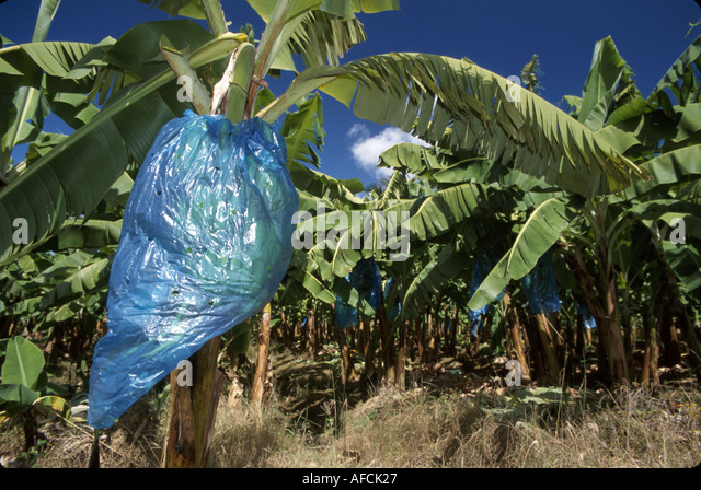 West Indies St. Lucia Cul de Sac Banana Plantation blue bags protect ripening fruit - Stock Image