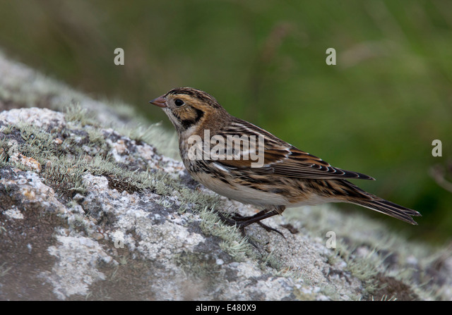 An adult winter Lapland Bunting on a lichen-covered rock, St Marys, Scilly Isles, Cornwall, UK. - Stock Image