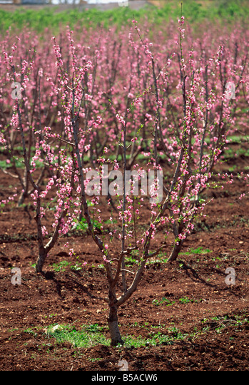 Blossom, Fez to Marrakesh road, Morocco, North Africa, Africa - Stock Image
