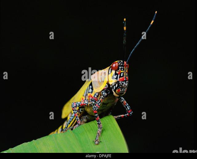 Locust - Stock Image