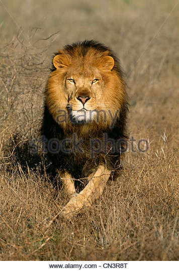 African lion, Africa - Stock Image