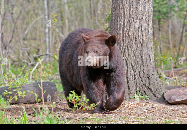 American Black Bear (Ursus americanus). Adult walking in forest. - Stock Image