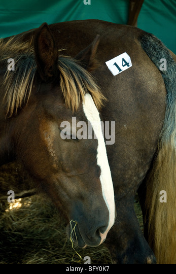A mare, rump displaying a contest entry number, and her foal at the Gascogne Expo agricultural fair in Auch - Stock Image