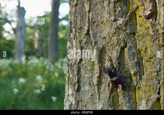 A stag beetle on a tree trunk - Stock Image