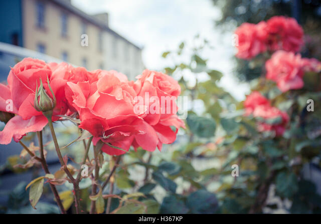 Vintage style close up photo of roses in Ramelton, Co. Donegal - Stock Image