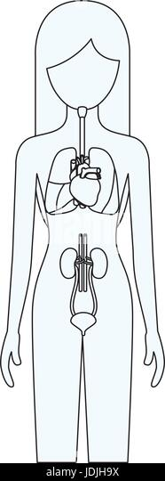 human internal organs stock photos  u0026 human internal organs