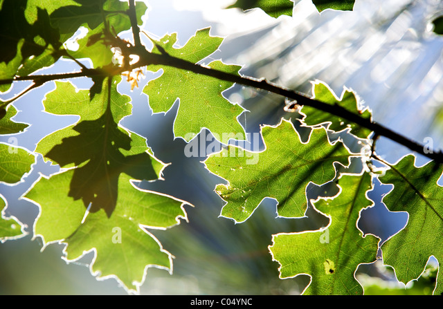 A leaf back lit by the sun - Stock Image