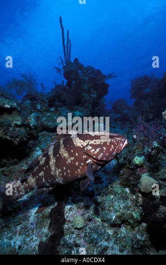 underwater nassau grouper coral reef - Stock Image