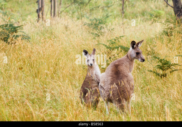 Eastern grey kangaroos, Geehi, Kosciuszko National Park, New South Wales, Australia, Pacific - Stock Image