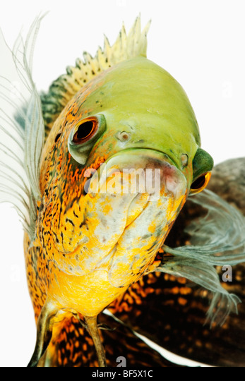 Oscar fish (Astonotus ocellatus). Tropical Freshwater fish from South America - Stock Image