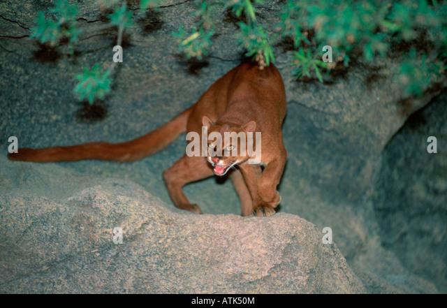 Jaguarundi / Wieselkatze - Stock Image
