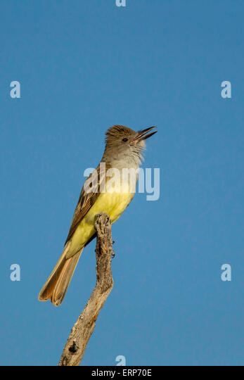 Brown-crested Flycatcher Myiarchus tyrannulus Tucson, Pima County, Arizona, United States 4 June       Adult singing - Stock Image