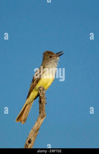 Brown-crested FlycatcherMyiarchus tyrannulusTucson, Pima County, Arizona, United States4 June       Adult singing - Stock Image