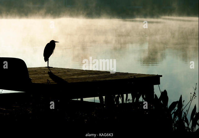 A great blue heron, ardea hernias, in silhouette, rests on a fresh water lake dock on a cold Florida morning waiting - Stock Image