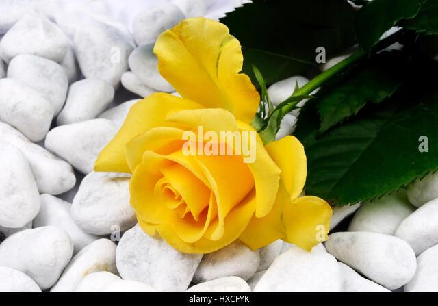 Yellow rose on wei? to en stones, Gelbe Rose auf wei?en Steinen - Stock-Bilder