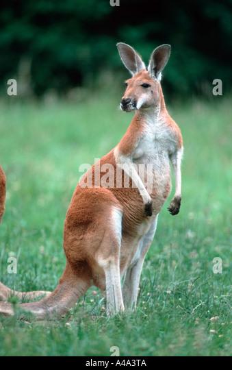 Red Kangaroo - Stock Image