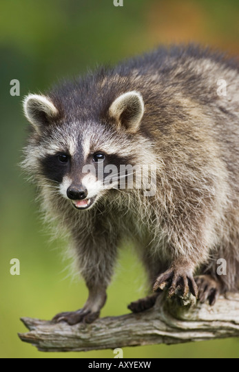 Raccoon (racoon) (Procyon lotor), in captivity, Minnesota Wildlife Connection, Sandstone, Minnesota, USA, North - Stock Image