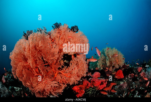 Coral Reef with Sea Fan Gorgonaria sp Raja Ampat Irian Jaya West Papua Indo Pazific Indonesia - Stock Image