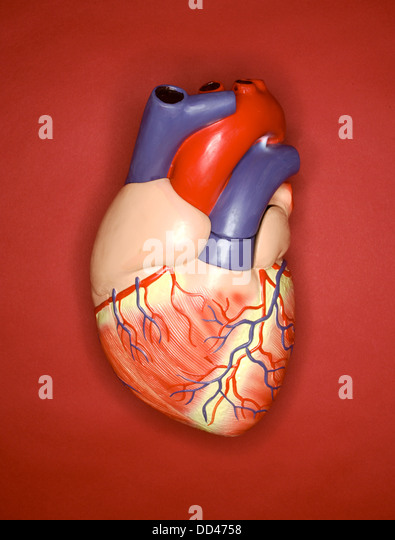 A plastic model of the Human heart on a red background - Stock Image