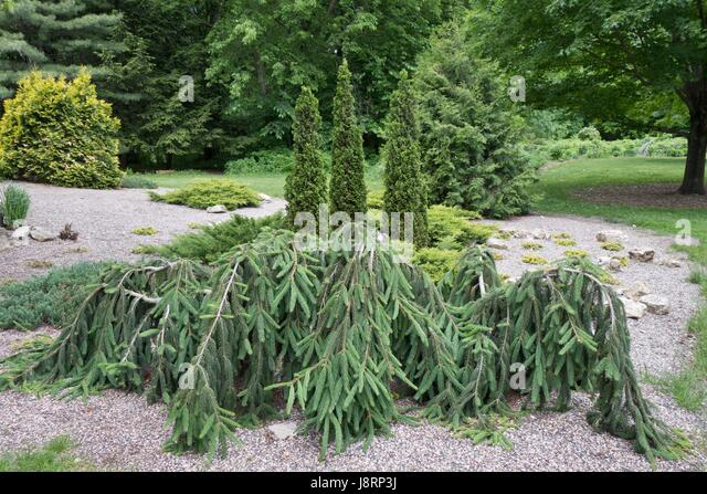 Weeping evergreen trees at the Lyndale Park Peace Garden in Minneapolis, Minnesota, USA. - Stock Image