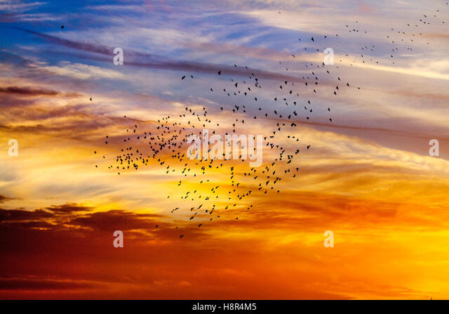 Blackpool, Lancashire, UK Weather. 15th November, 2016. Colourful Sunset with Starlings coming to roost over the - Stock Image