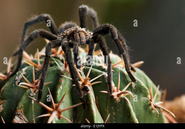 Texas Brown Tarantula - Camp Lula Sams - Brownsville, Texas USA - Stock Image