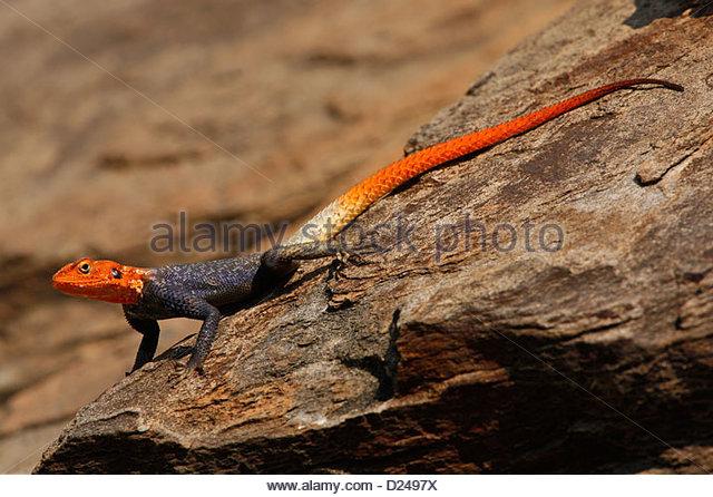 NAMIBIAN ROCK AGAMA, Agama planiceps - Stock Image