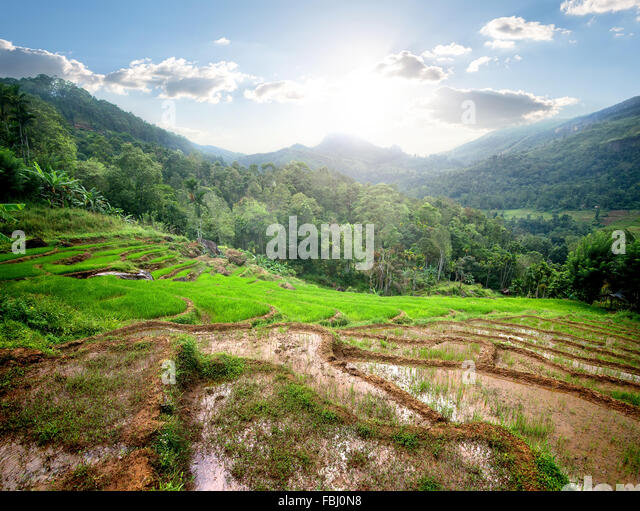 Green rice fields in mountains of Sri Lanka - Stock Image