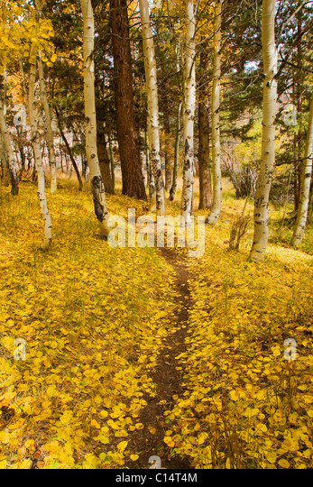 A path or hiking trail covered with yellow autumn aspen leaves in the Sierra mountains of California - Stock Image