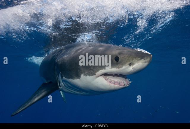 Great White Shark, Mexico. - Stock Image