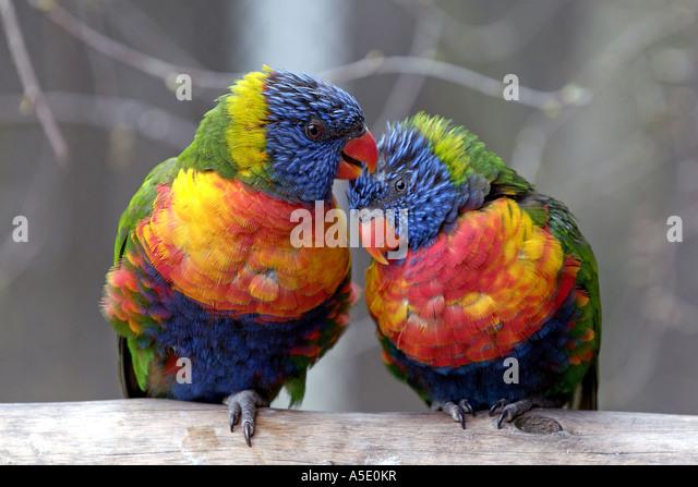 rainbow lory (Trichoglossus haematodus caeruleiceps), pair - Stock-Bilder