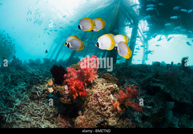 Panda butterflyfish with jetty in background.  Misool, Raja Empat, West Papua, Indonesia. - Stock Image