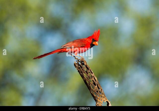 Northern Cardinal Cardinalis cardinalis Amado, Santa Cruz County, Arizona, United States 15 May      Adult Male - Stock Image