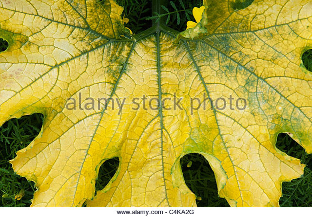 Courgette soleil leaf - Stock Image