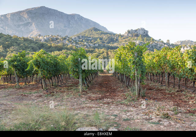 rows of cabernet grapes growing at vineyard in Mallorca - Stock Image