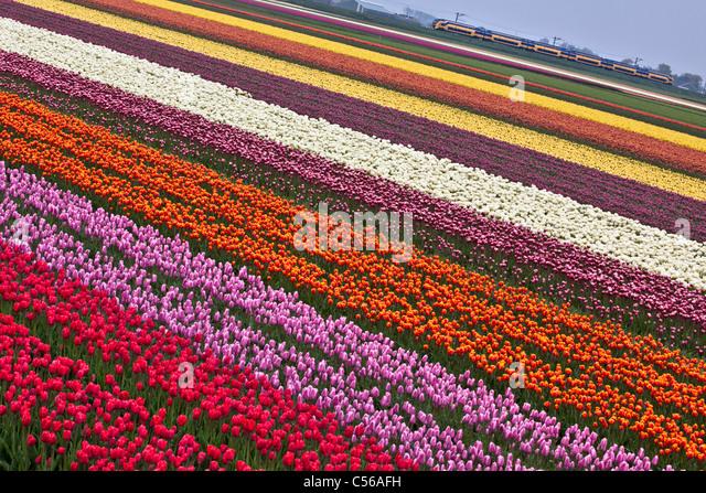The Netherlands, Egmond, Tulip fields. Train passing. - Stock Image
