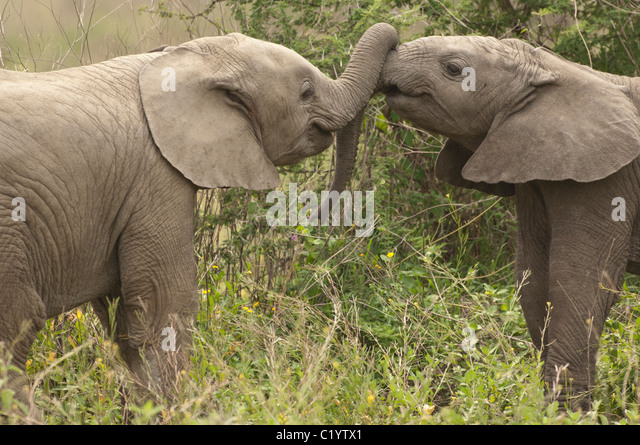 Stock photo of two baby elephants playing with their trunks. - Stock Image