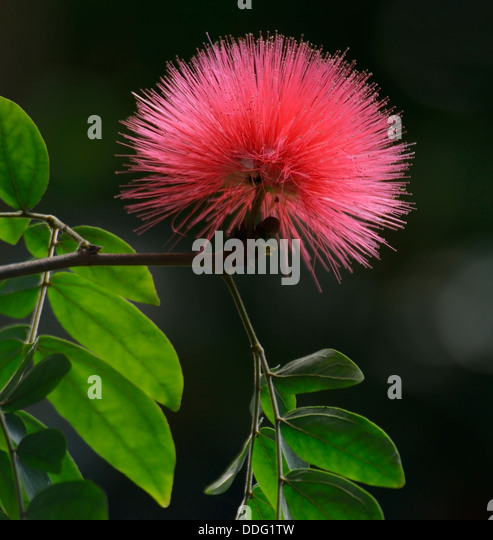 Silk Tree Flower And Leaves - Stock Image