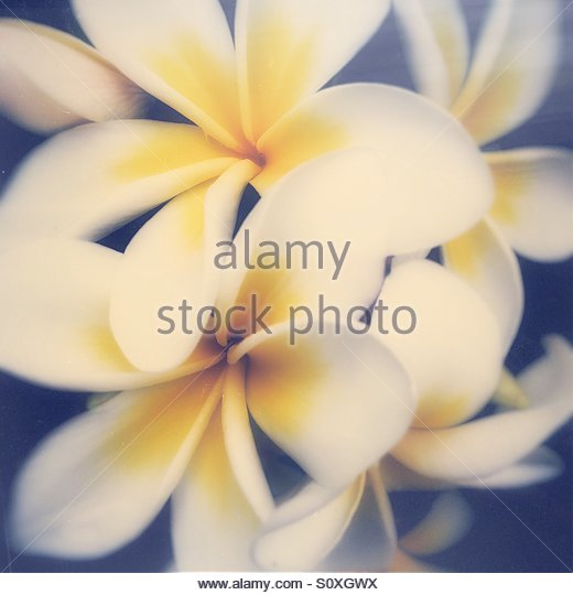 Close Up of White & Yellow Frangipani Flowers on a Faded Distressed Background - Stock Image