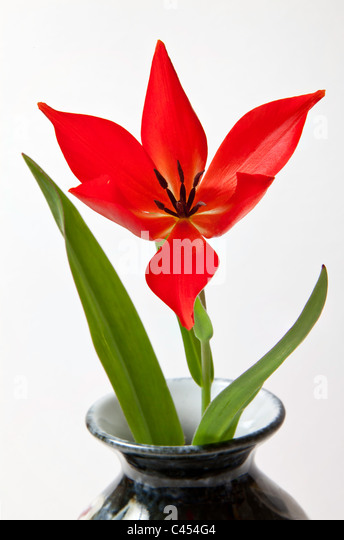 RED TULIP WITH OPEN PETALS IN VASE. - Stock Image