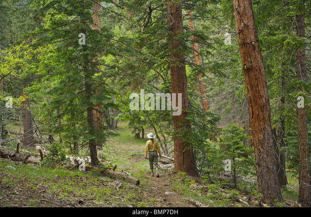 Hiker on Arizona National Scenic Trail amid mixed conifer forest on Mormon Mountain, [Coconino National Forest], - Stock Image