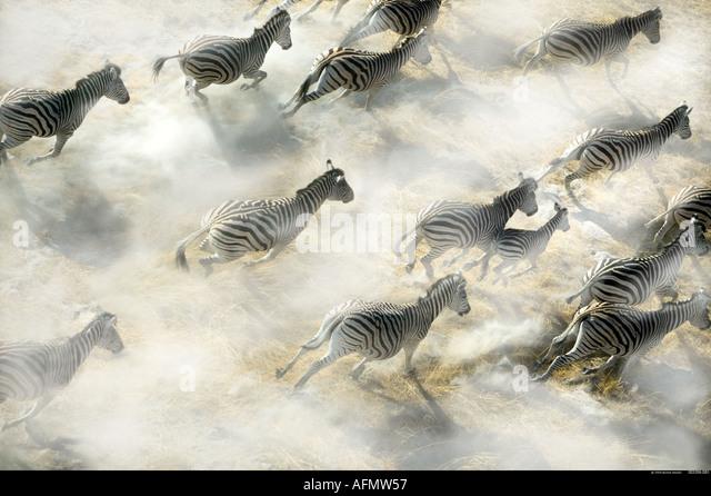 Aerial view of Zebra herd running Okavango Delta Botswana - Stock-Bilder