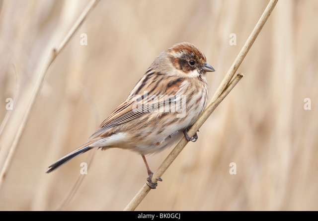 Female reed bunting emberiza scholniclus on reed in reedbed UK. - Stock Image