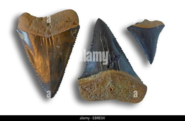 Fossil Shark Teeth Stock Photos & Fossil Shark Teeth Stock ... Carcharodon Carcharias Teeth