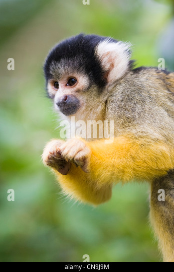 Black Capped Squirrel Monkey - Saimiri boliviensis - Stock Image