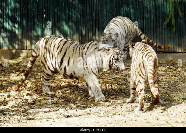 Three white tigers, having a fight - Stock Image