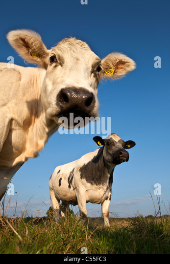 The Netherlands, Epen, Close up cows - Stock Image